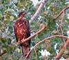 Bald Eagle - Pygargue à tête blanche (IMG_6301-1S-20150828) by Michel Sansfacon
