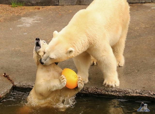 Eisbär Fiete imm Zoo Rostock 15.08.2015 Teil 2  214