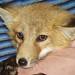 Terrified Little Fox