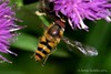 Hoverfly on the wing by sputnik374