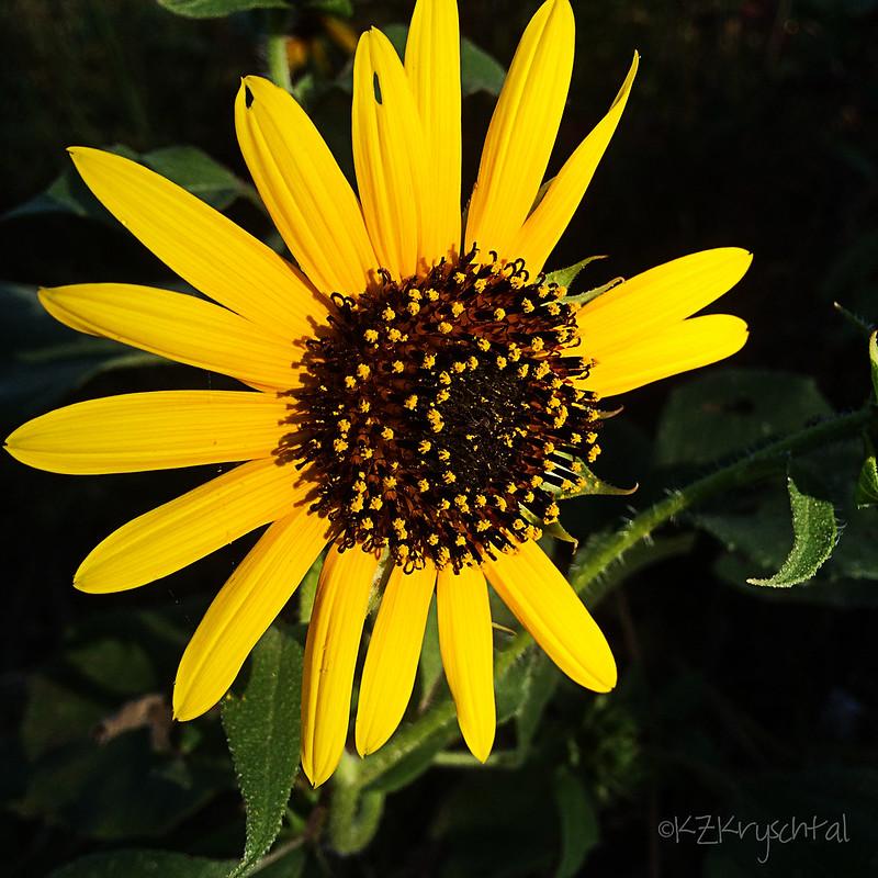 IMG_1686Sunflower