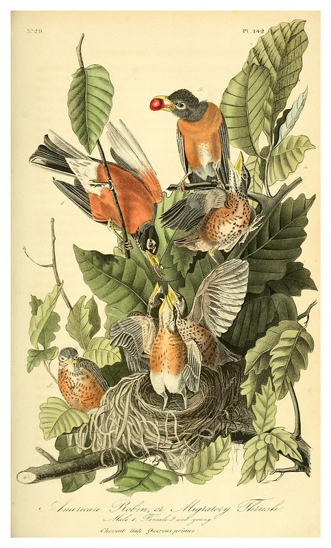 011-Petirrojo americano-Vol3-1840-The birds of America…J.J. Audubon