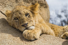 Bored cub on the rock