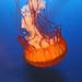 Small photo of Aquar.brown sea nettle