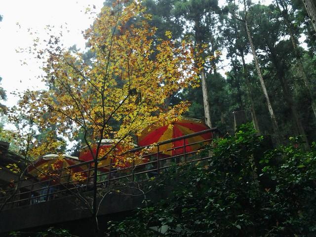 溪頭的楓葉54