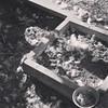 Iggy Azalea is molting #featherseverywhere #backyardchickens