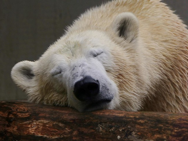 Polar Bear ANORI, still so tired ;-) explored