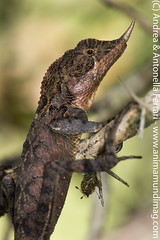 Rhino-horned lizard Ceratophora stoddartii