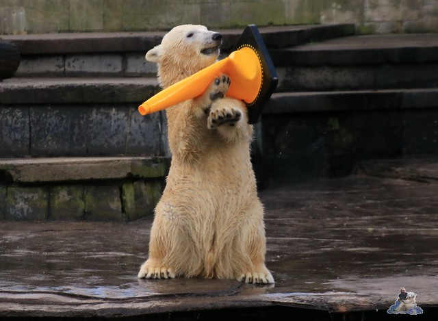 Eisbär Fiete im Zoo Rostock 13.12.2015  211