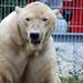 Eisbär Ootek im Nyíregyházi Állatpark (Sóstó  Zoo)