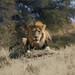 Leo, the King by crafty1tutu (Ann)
