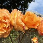 Roses in the Gardens