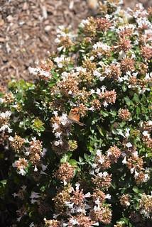 Butterfly Arl VA 10-17-14 1