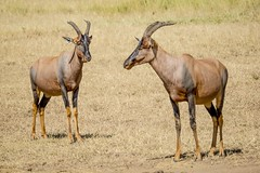 animal, antelope, wildebeest, mammal, horn, hartebeest, fauna, savanna, safari, wildlife,