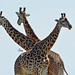 Giraffe Trio - 3665b+ by teagden