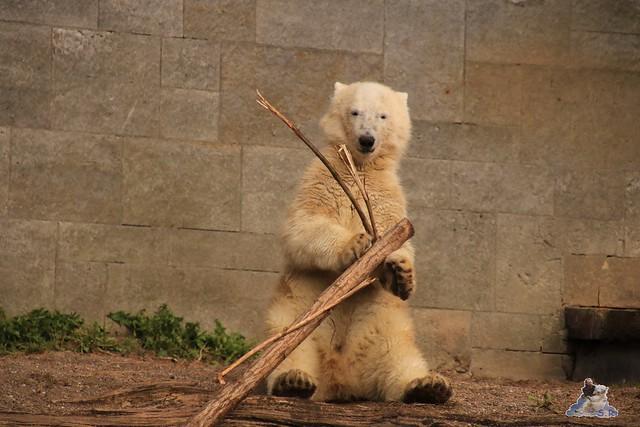 Eisbär Fiete im Zoo Rostock 05.09.2015  0256