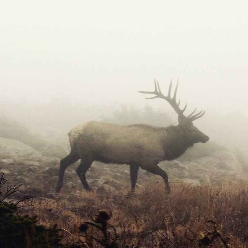 Elk / Vapiti