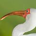 Ibis Blanco,  White Ibis