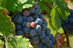 Grapes on the vine in sun