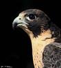 Peregrine Falcon Portrait by Kyle Dudgeon Photography