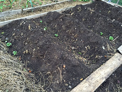 2015-05-31 potatoes sprouting IMG_1525