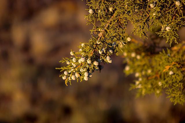 jumiper Pine8-021015_20d_
