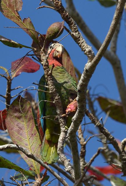 Header of Amazona leucocephala