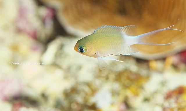 マルスズメダイ幼魚。