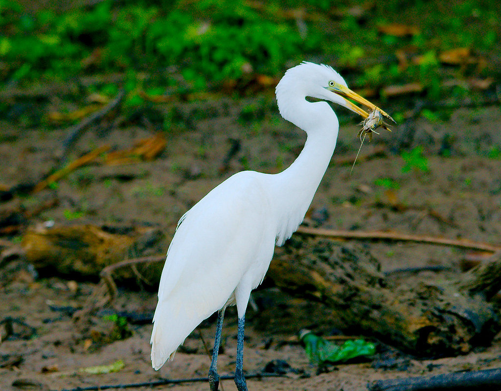 Great Egret (Ardea alba)_166