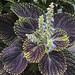 Small photo of Coleus bloom