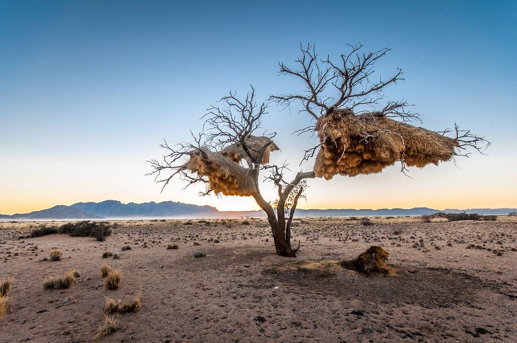 Weavers home, Sossusvlei Namibia