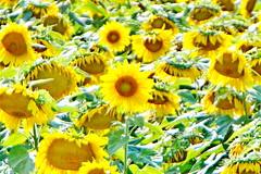 Sunshine Field (SUNFLOWERS) 04