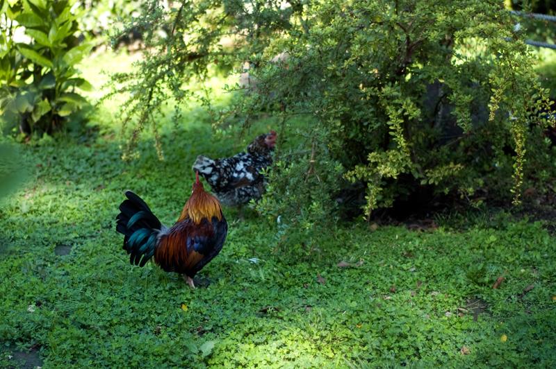 Galos e galinhas, Campo Mártires da Pátria
