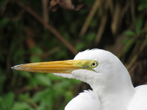 Great Egret in Paradise #2