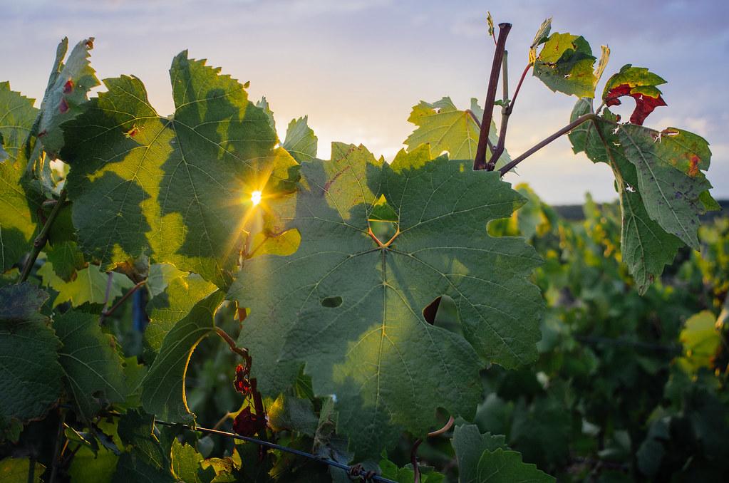 Balade gastronomique dans l'Yonne - du soleil dans les vignes