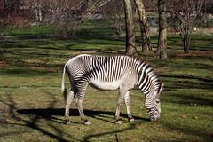 Bronx Zoo - Africa Plains: Grévy's Zebra