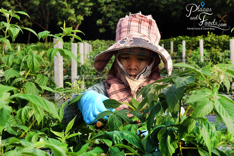 singha park hill tribe working on raspberry farm