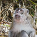 macaque by axis68