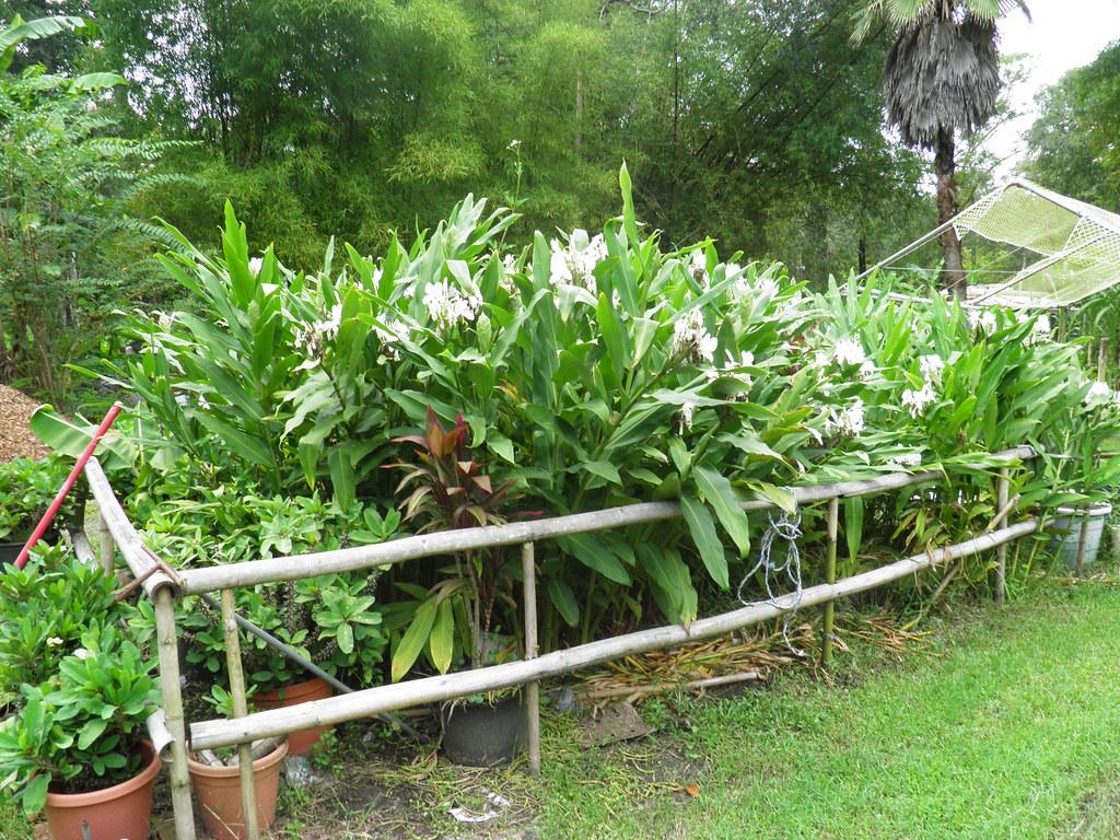 Hedychium Coronarium Florida Foraging