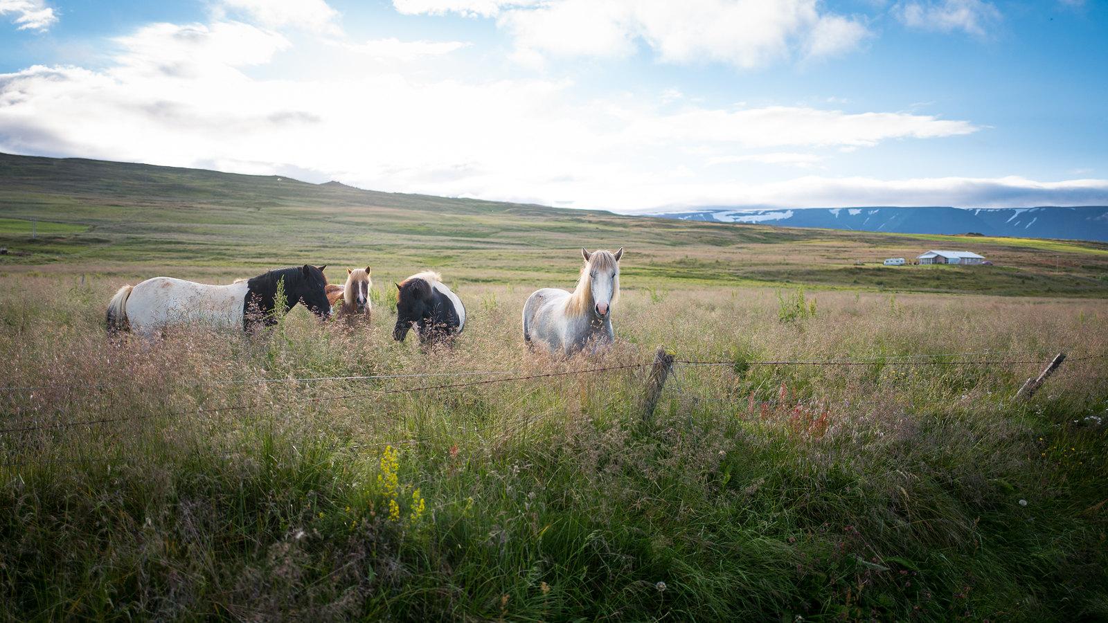 Icelandic horses in Eyjafjordur