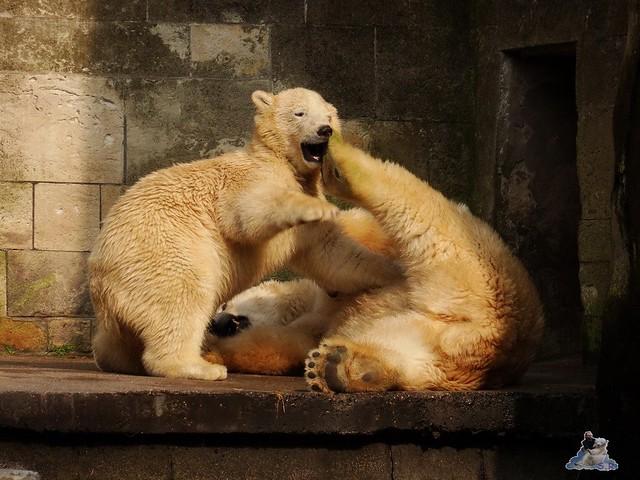 Eisbär Fiete im Zoo Rostock 15.08.2015 Teil 3 024
