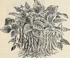 "Image from page 10 of ""Dreer's mid-summer list, strawberry plants, celery and other seasonable plants, seeds etc. : July 1896 August"" (1896)"