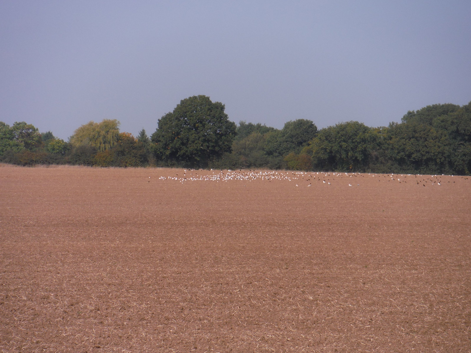 Birds in Field SWC Walk 159 South Woodham Ferrers to North Fambridge