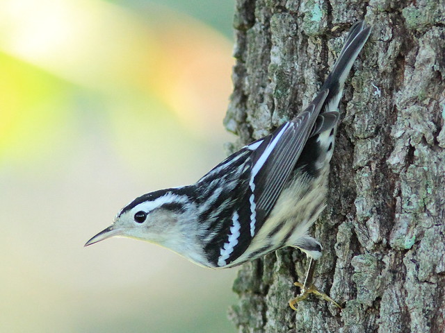 Black-and-White Warbler 07-20151006