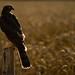Sparrowhawk by ToriAndrewsPhotography