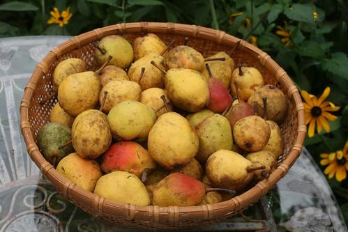 2015-10-03 pears IMG_4149