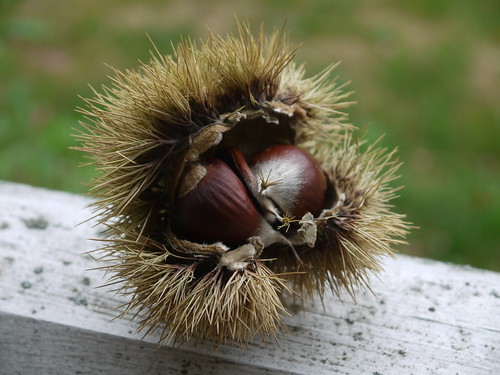 Chestnut harvest