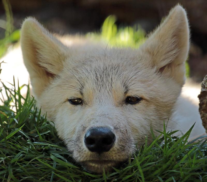 hudsonbay wolf Hoenderdaell JN6A1415