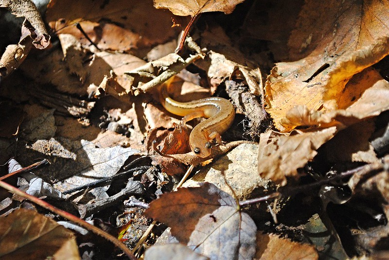 Northern Spring Salamander (саламандра)