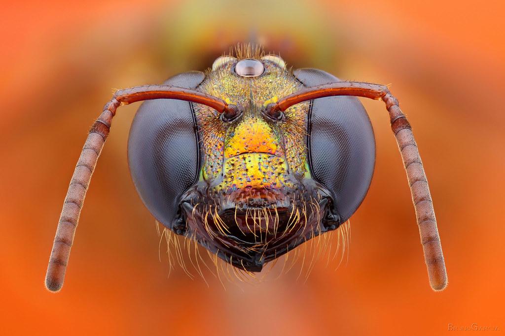 Abelha (Subfamília: Halictinae, Tribo: Augochlorini, Gênero: Megalopta)
